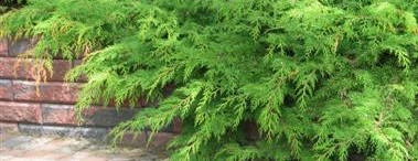 Tuivio – puutarhan ikivihreä toivekasvi